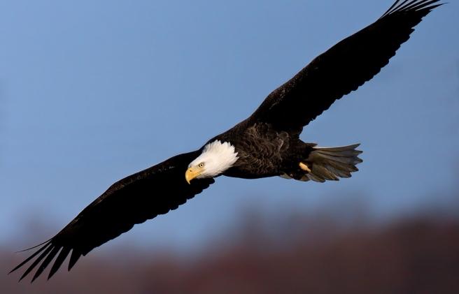 aguila picture Eagle Bald American Bald-eagle-44